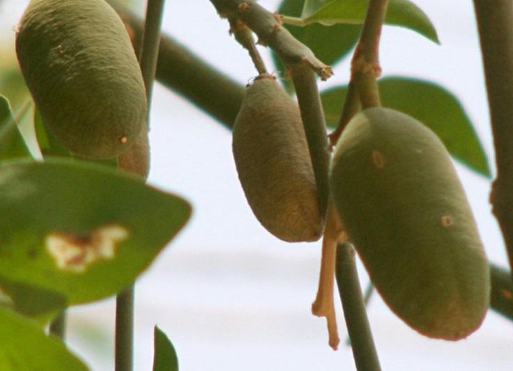 Τα φρούτα της Αφρικής - χουρμάδες της ερήμου