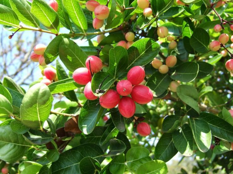 Τα φρούτα της Αφρικής - carissa