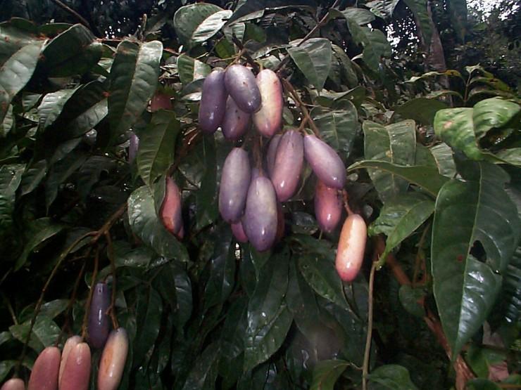 Τα φρούτα της Αφρικής - safou
