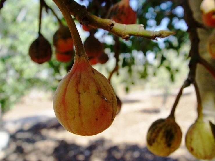 Τα φρούτα της Αφρικής - sycamore fig