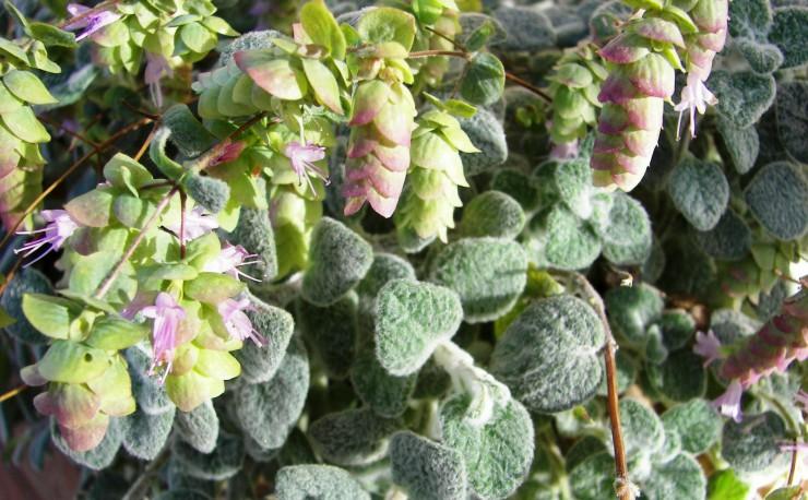Τα άνθη του φυτού έχουν βιολετί χρώμα